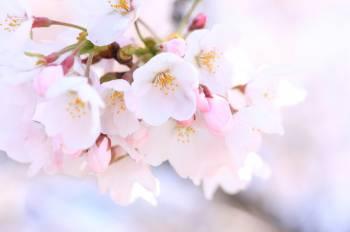 満開(2019/03/28 17:25)白井 メイサのブログ画像