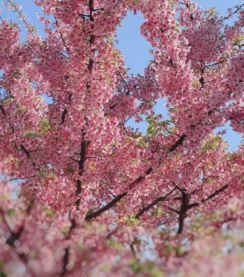 桜🌸(2020/03/29 11:42)吉瀬 蘭のブログ画像