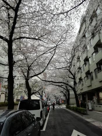 桜(2019/04/07 12:59)中井 はるなのブログ画像