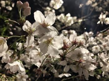 さくらの季節🌸(2019/04/05 09:31)大石美春のブログ画像