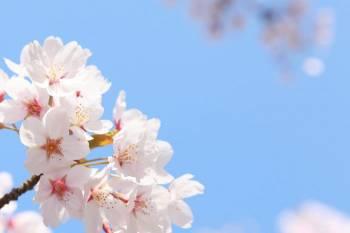 桜開花🌸ユミコ(2021/03/15 13:21)大橋 ユミコのブログ画像